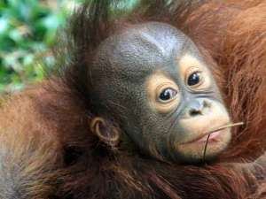 Kelahiran Bayi Orangutan Kalimantan Menambah Koleksi Taman Safari Prigen Jawa Timur