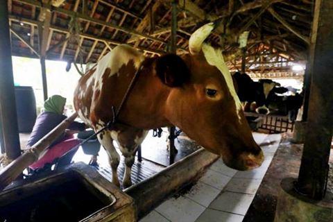 Peternak memerah susu sapi, di Subang, Jawa Barat, Sabtu (28/3/2015)./JIBI-Bisnis - Rachman