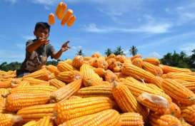 Garut Pasok Jagung Industri Pakan Ternak