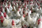Ilmuwan: Peternakan Ayam Berisiko Hasilkan Wabah yang Lebih dari Covid-19