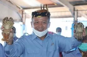 Maluku Kuat di Perikanan Tangkap, Sektor Budidaya…