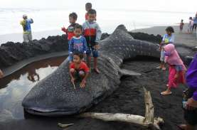 Foto-Foto Hiu Paus 9 Meter Seberat 2 Ton Mati Terdampar…