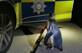 Penguin Jalan-jalan Keliling Desa, Malah Ketemu Polisi