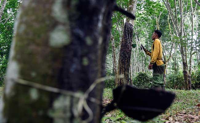 Petani memanen getah karet di Palembang, Sumatera Selatan, Jumat  31 Januari 2020. ANTARA FOTO - Nova Wahyudi