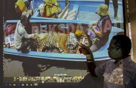 Harimau Sumatra Mati Terjerat di Hutan Produksi Kabupaten Siak