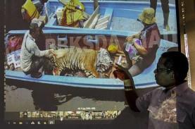 Harimau Sumatra Mati Terjerat di Hutan Produksi Kabupaten…