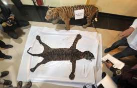 Sedih, Seekor Harimau Sumatra Mati Akibat Terjerat Kawat di Leher