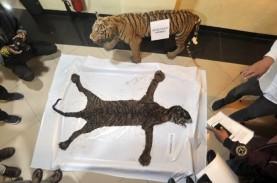 Sedih, Seekor Harimau Sumatra Mati Akibat Terjerat…