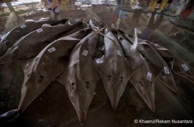 Gawat! Ikan Pari Kekeh dan Kikir Terancam Punah