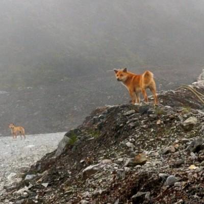Anjing Bernyanyi Yang Sudah Punah Kini Muncul Kembali Kabar24 Bisnis Com
