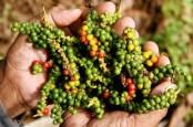 Harga Lada di Bangka Belitung Naik, Petani Sebut Belum Ideal