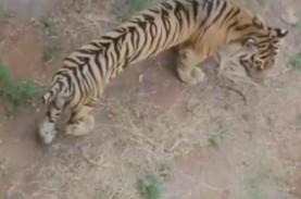 Viral Video Harimau Kurus, Ini Kondisi Kesehatannya