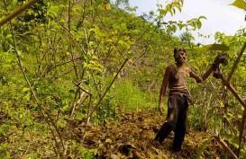 Harga Gambir Anjlok, Ekonomi Petani di Sumbar Goyah