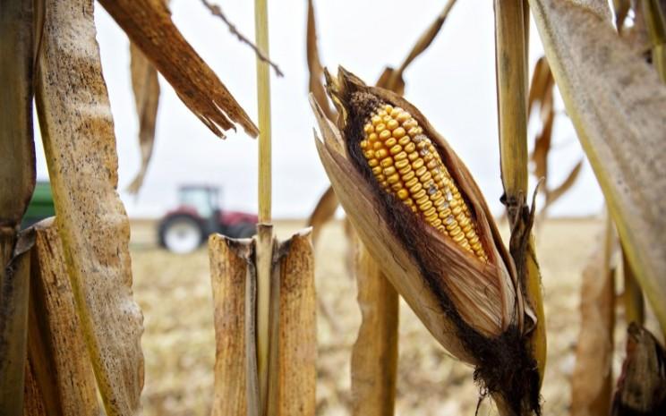 Panen jagung yang rusak akibat angin topan dan hujan lebat di China. - Bloomberg