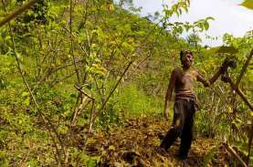 KOMODITAS GAMBIR SUMATRA BARAT : Petani Tidak Kantongi…