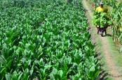 Produksi Tembakau 2020 Diramalkan Susut, Ini Penyebabnya