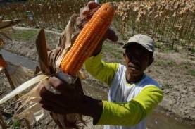 Produksi Jagung Kuning Melimpah, Poso Jajaki Pasar…