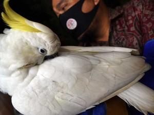BKSDA Banten Amankan Seekor Burung Kakatua Jambul Kuning Yang Dipelihara Warga