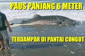 Ini Video Hiu Paus Tutul 6 Meter yang Mati Terdampar…