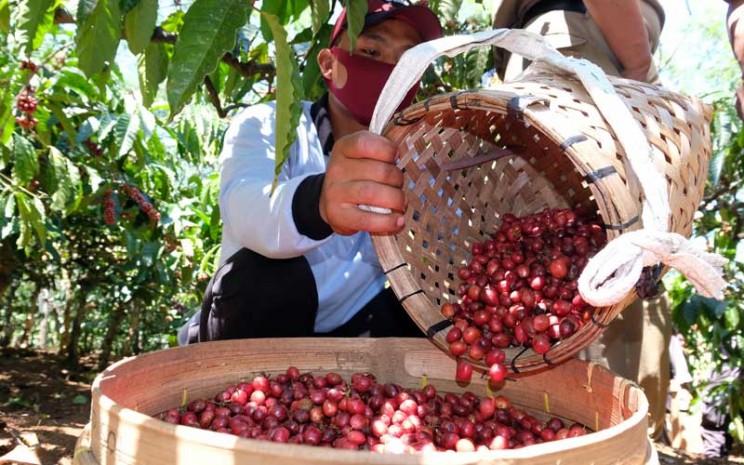 Seorang petani memanen kopi Robusta (Coffea canephora) saat panen perdana di perladangan Desa Jambon, Kandangan, Temanggung, Jawa Tengah, Selasa (25/8/2020). ANTARA FOTO - Anis Efizudin