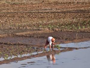 Petani Manfaatkan Menyusutnya Air Waduk Untuk Menanam Sayur Jenis Umur Pendek