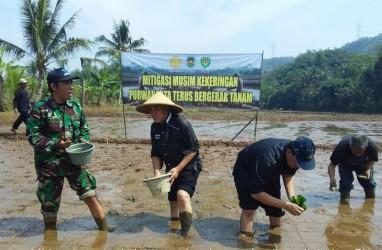 Padi Gogo Sawah Jadi Andalan Purwakarta di Masa Paceklik
