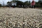 Uni Eropa Buat Regulasi Baru, Ekspor Kopi Indonesia Terancam Mandek