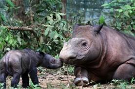 Selamatkan Populasi Badak Sumatra, Dana Rp100 Miliar…