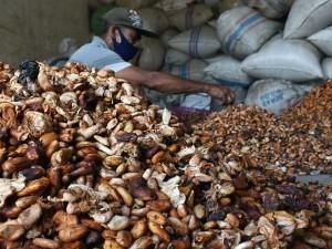 Harga Biji Kakao di Petani Alami Kenaikan
