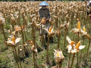 Harga Jagung di Petani Turun Menjadi Rp 4 Ribu Per Kilogram Sejak Pandemi Covid-19
