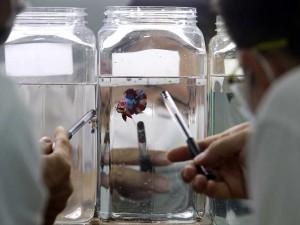 Ikan Cupang Kembali Menjadi Primadona di Tengah Pandemi Covid-19