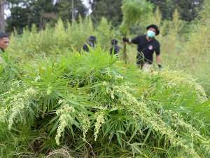 Polda Aceh Bersama TNI Musnahkan Ladang Ganja Siap Panen Seluas 10 Hektare