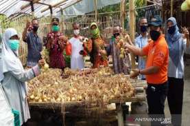 Petani Kulon Progo Uji Coba Tanam Bawang Bombai, Hasilnya?