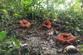 Tiga Kuntum Raflesia Kemumu Mekar Serentak di Bengkulu