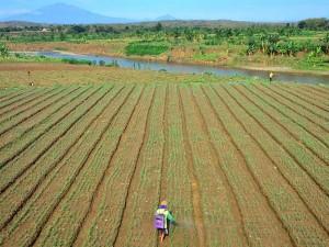 Warga di Boyolali Manfaatkan Aliran Sungai Yang Surut Untuk Bertani