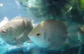 Tembakang Ikan Langka, 7.000 Benih Ditebar di Sungai Musi Palembang
