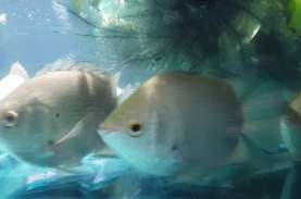 Tembakang Ikan Langka, 7.000 Benih Ditebar di Sungai…