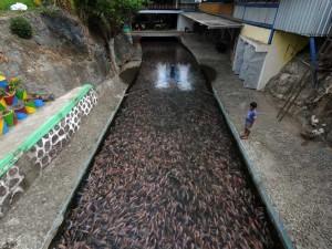 Salah Satu Sungai di Klaten Dipenuhi Ikan Nila