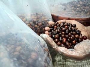 Kopi Jenis Arabika di Jawa Barat Difermentasi Agar Menyerupai Aroma Wine