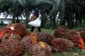 Harga Referensi CPO dan Biji Kakao Naik Per Oktober 2020