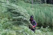 BNN Musnahkan Ladang Ganja 6 Hektare di Mandailing Natal