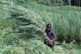 BNN Musnahkan Ladang Ganja 6 Hektare di Mandailing…