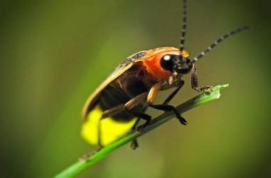 Apa yang Membuat Kunang-kunang Bercahaya?