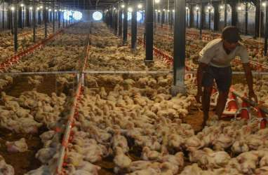 90% Pasar Ayam Dikuasai Asing, Peternak Milenial Minta Pemerintah Ada Keberpihakan