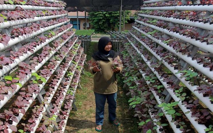 Pekerja merawat tanaman hidroponik bayam merah di Serua Farm Pamulang, Tangerang Selatan, Banten, Rabu (24/6/2020). Pada masa pandemi Covid-19 permintaan sayur tanaman hidroponik mengalami kenaikan hingga 200 persen yang dijual secara daring dan melalui supermarket. ANTARA FOTO - Muhammad Iqbal
