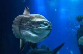 Ikan Mola-mola Muncul di Permukaan, Warga AS Telepon 911