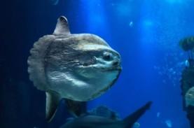 Ikan Mola-mola Muncul di Permukaan, Warga AS Telepon…