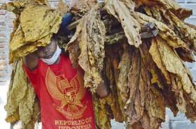 Serapan Tembakau Melempem, Petani Minta Tak Ada Kenaikan…