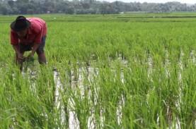 Produksi Padi Jatim di 11 Wilayah Diperkirakan Turun…