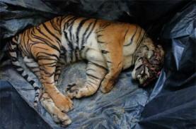 Harimau di Sumut Sering Keluar Habitat, Walhi: Akibat…